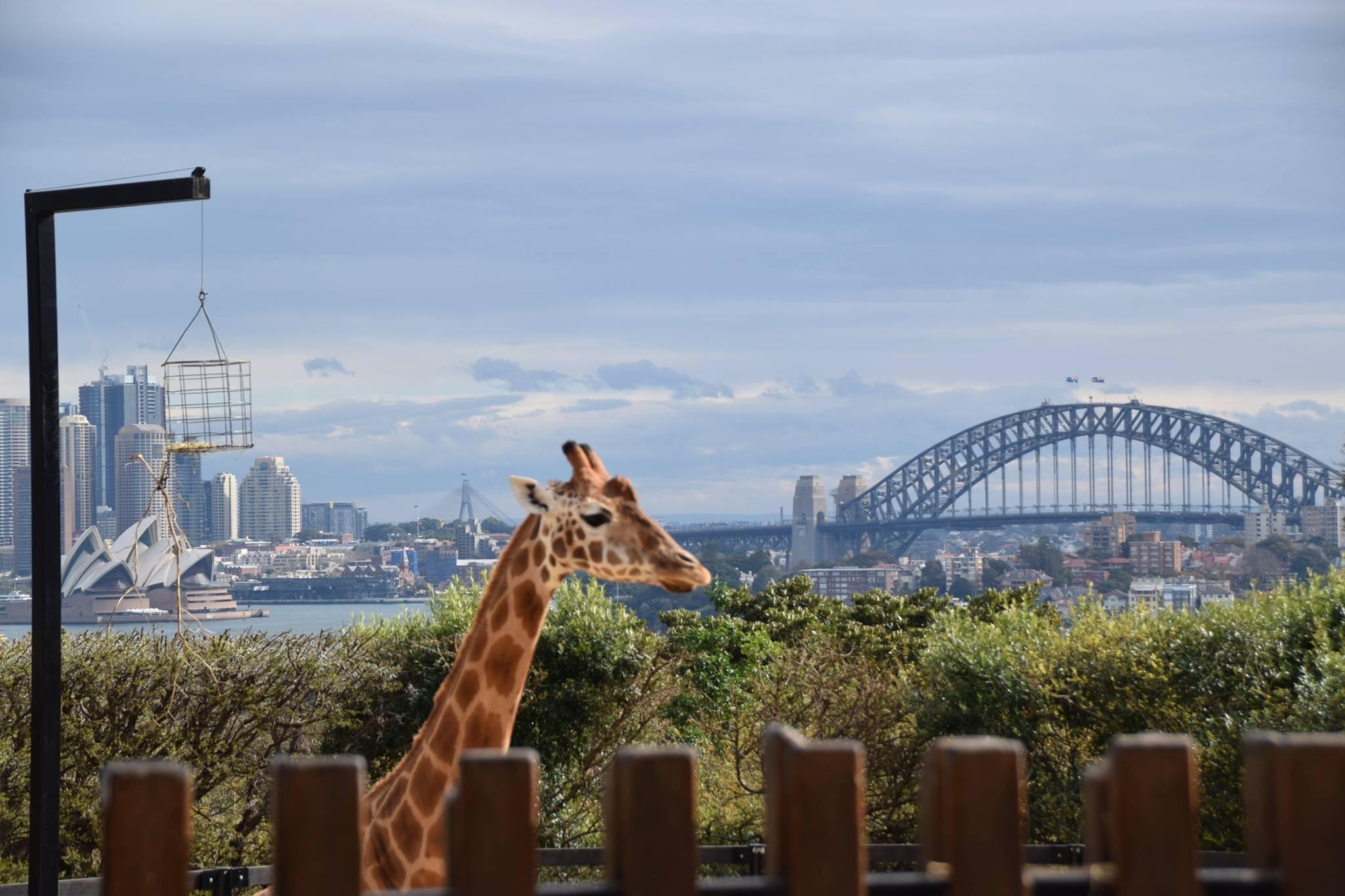 Giraffe in Sydney